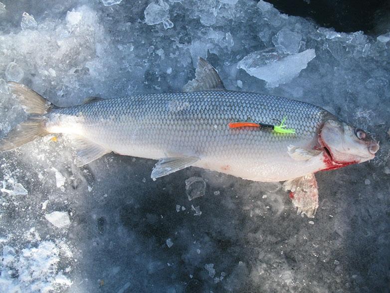 Lake simcoe top winter fish species for Lake lure fishing